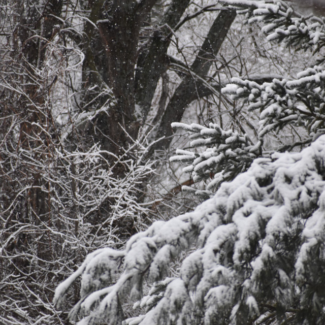 """""""Snow covered trees"""" stock image"""