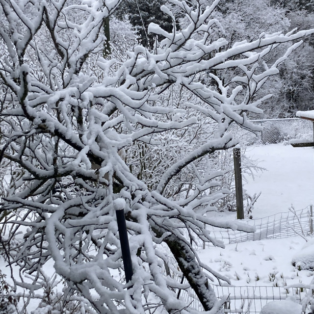 """""""Snow covered branches"""" stock image"""
