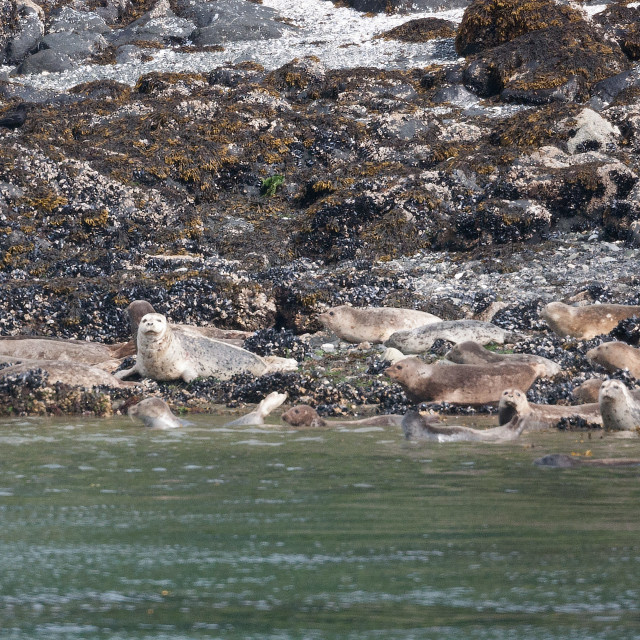 """Harbor Seals"" stock image"