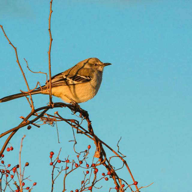 """Northern Mockingbird"" stock image"