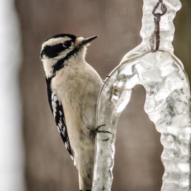 """Downy woodpecker"" stock image"