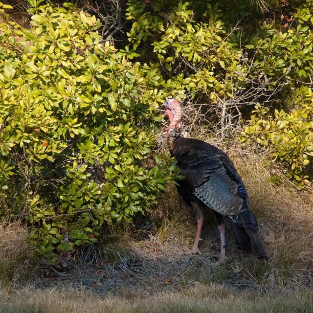 """Wild turkey"" stock image"