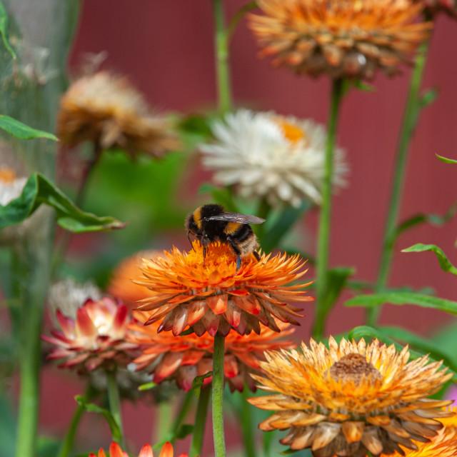 """Hobbiton Bumble Bee"" stock image"