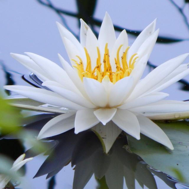 """White Waterlilies - Image 5"" stock image"