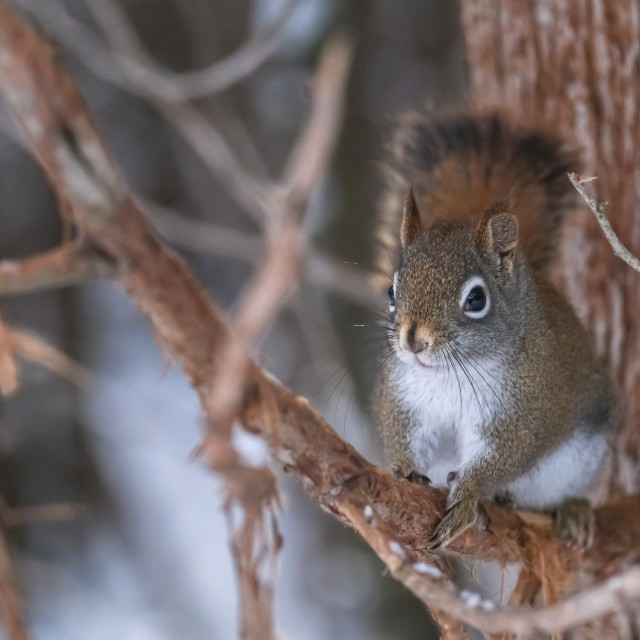 """""""Red squirrel clinging to tree branch in winter"""" stock image"""
