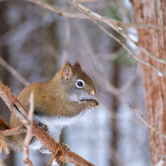 """""""Tree squirrel on a branch holding a seed"""" stock image"""
