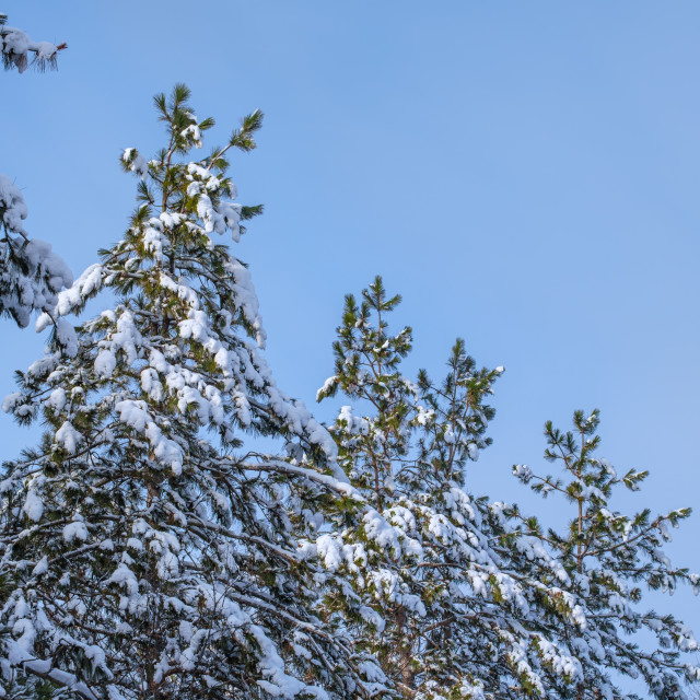 """""""Snowy pine tree-tops before a pale blue sky"""" stock image"""