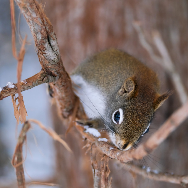 """""""Curious red squirrel in a tree"""" stock image"""