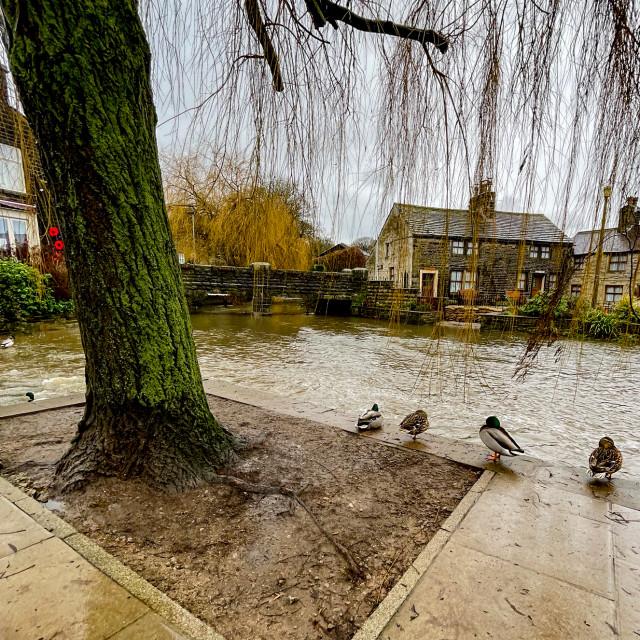 """Silsden Beck, Cobbydale, Silsden, Yorkshire, England. Ducks waiting for a swim."" stock image"