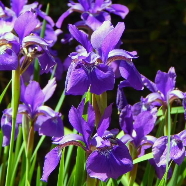 """Purple Irises in Spring"" stock image"