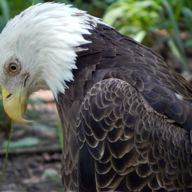 """""""Bald Eagle with Bowed Head"""" stock image"""