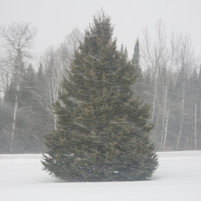 """Winter Mighty Pine"" stock image"