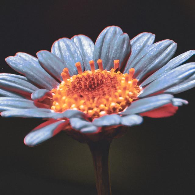 """""""Blue Daisy"""" stock image"""