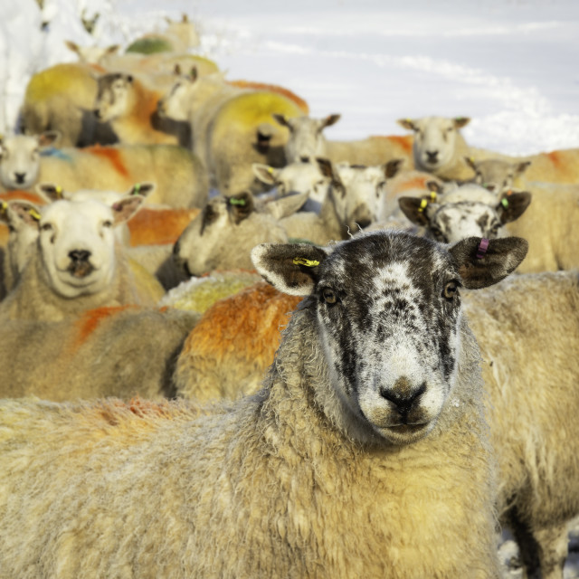 """""""Sheep in snow"""" stock image"""