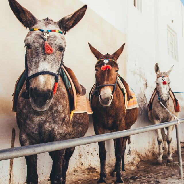 """Donkeys on the Greek island of Santorini"" stock image"