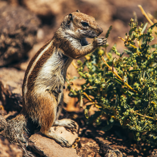 """""""Squirrel in natural rocky desert environment"""" stock image"""