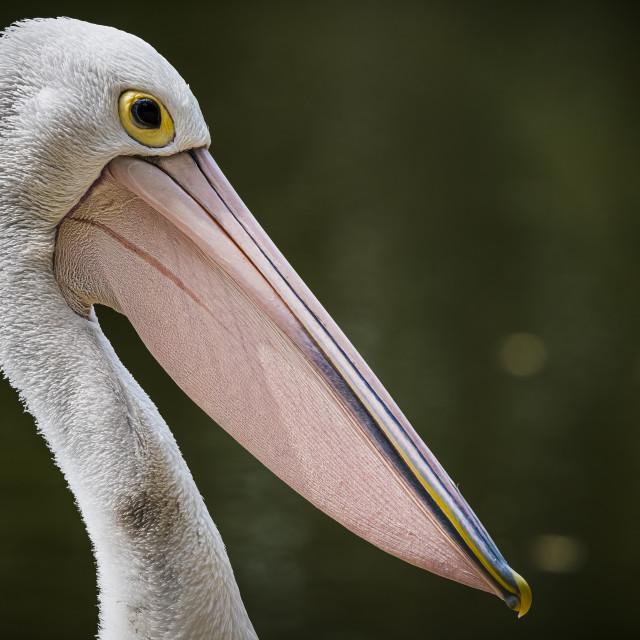 """Pelican portrait against dark background in Gold Coast Australia"" stock image"