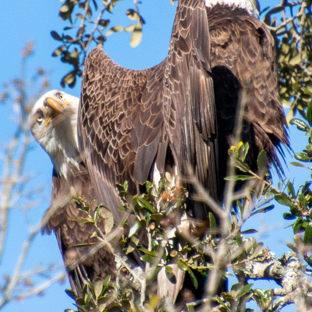 """Pair of Bald Eagles Central Florida USA"" stock image"