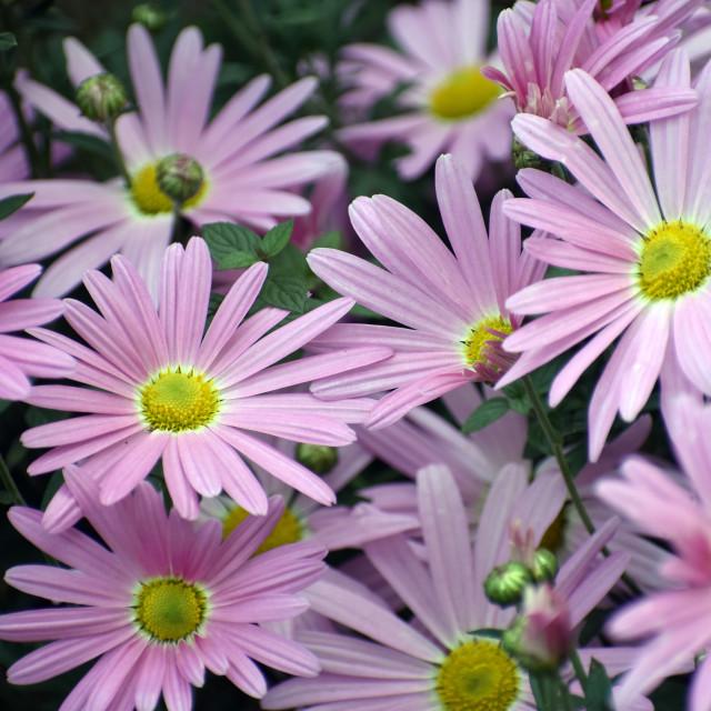 """Purple Daisies"" stock image"