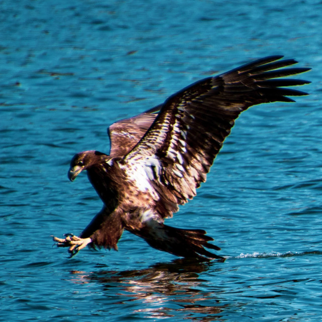 """A Golden Eagle Landing Leesburg FLorida USA"" stock image"