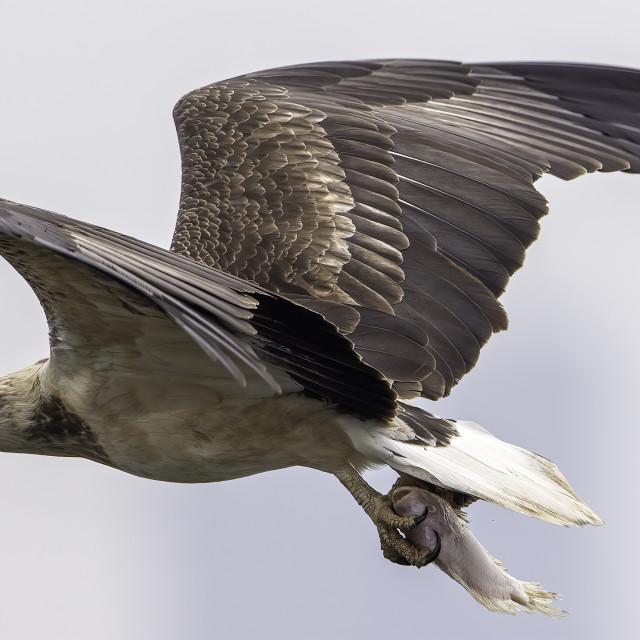 """Juvenile white bellied sea eagle caught a fish"" stock image"
