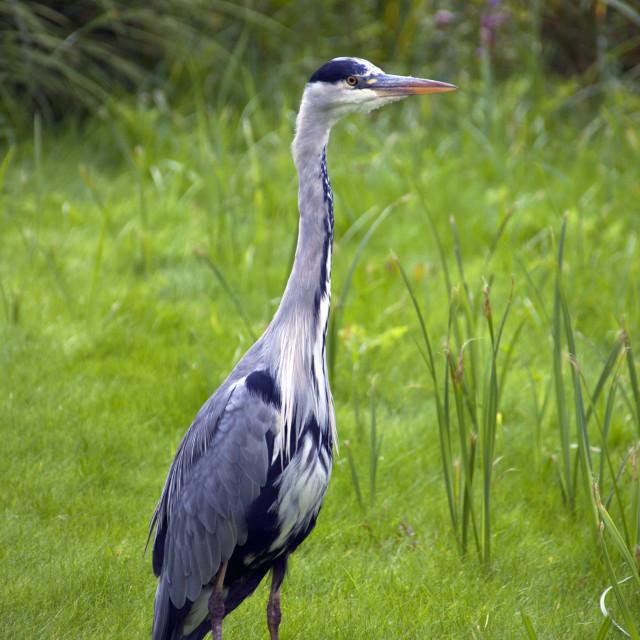 """Grey Heron - British Wildlife"" stock image"