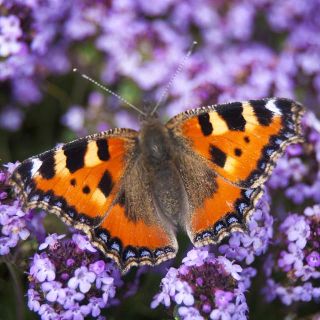 """""""Tortoiseshell Butterfly - British Wildlife"""" stock image"""