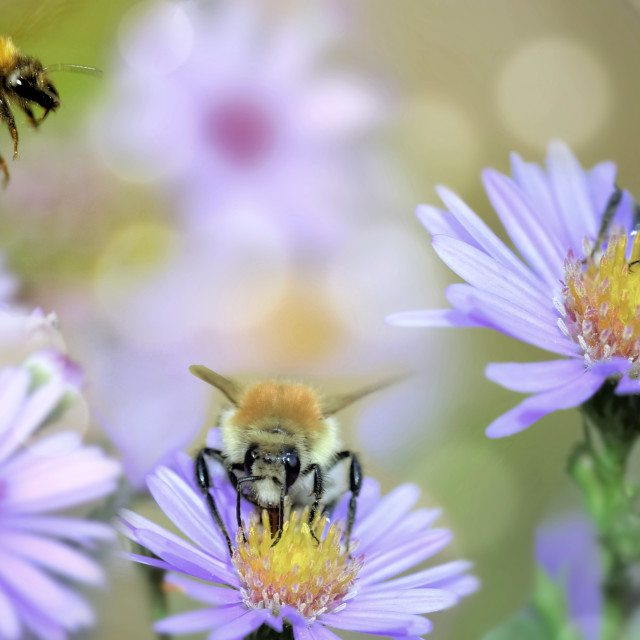 """""""honeybee gathering pink flowers in a garden in panoramic view"""" stock image"""
