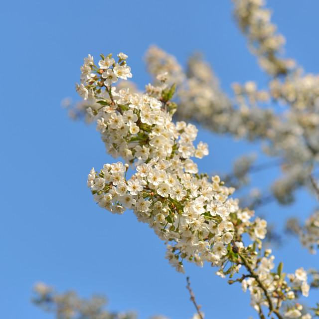 """""""close on pretty white flowers of cherry tree blooming on blue sky background"""" stock image"""