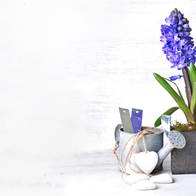 """""""decorative potted hyacinth in box with garden equipment in panoramic view with copy space"""" stock image"""