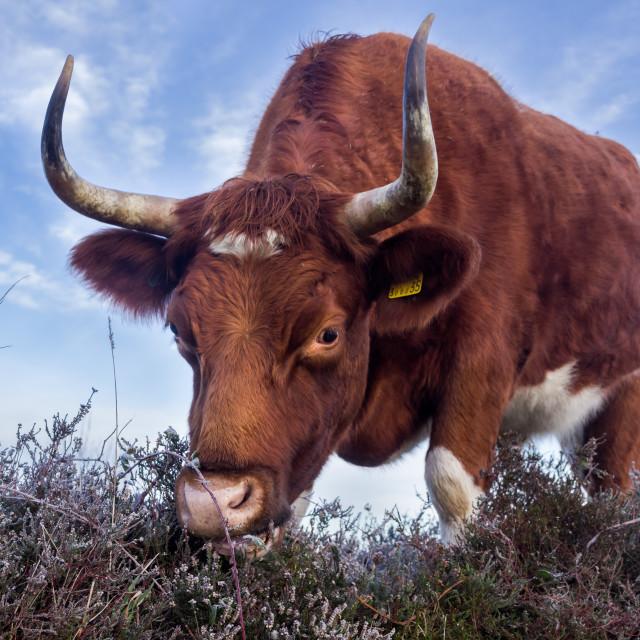 """Cow Grazing"" stock image"