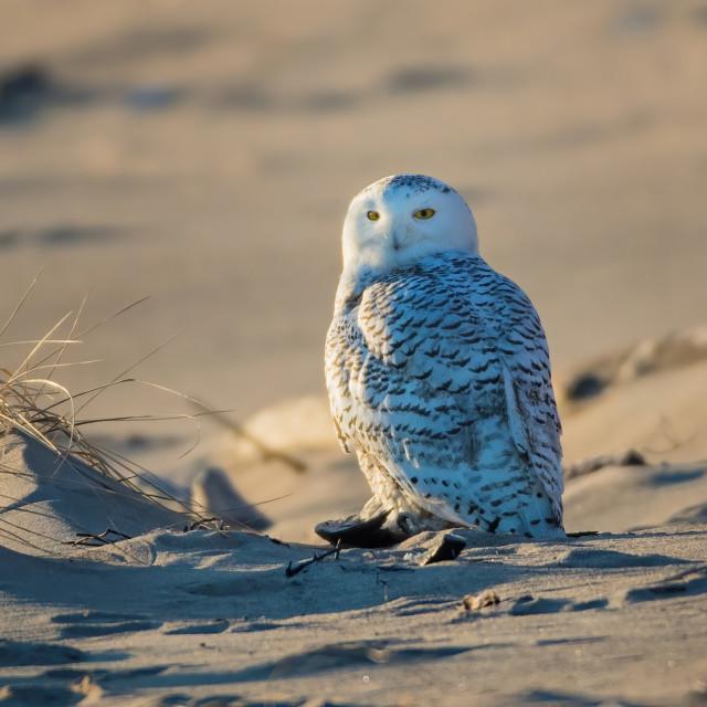 """Snowy Owl 2"" stock image"