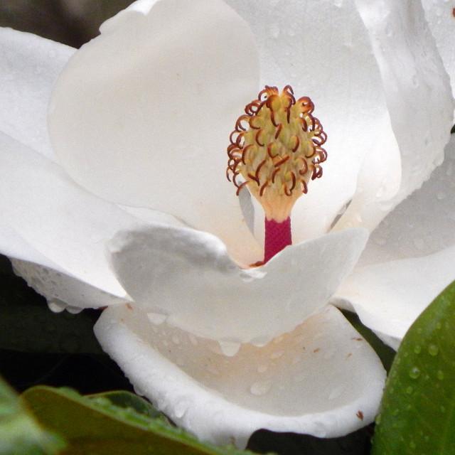 """Magnolia after a Rain"" stock image"