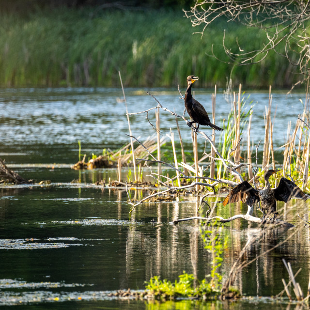 """two double-crested cormorant sitting on branches on a flood isla"" stock image"