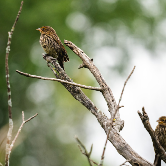 """""""pair of finches on a bare tree branch"""" stock image"""