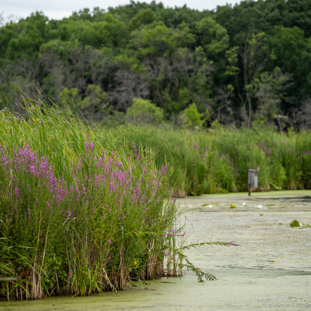 """""""wetland wildflowers in minnesota with a bird habitat in the dist"""" stock image"""