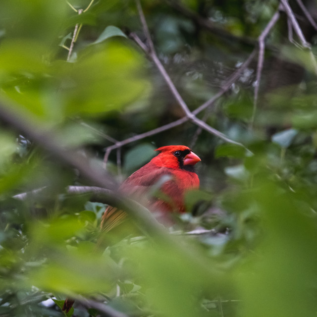 """""""male cardinal bird framed by leaves of a tree"""" stock image"""
