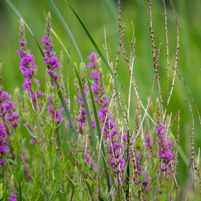 """purple minnesota meadow wild flowers"" stock image"
