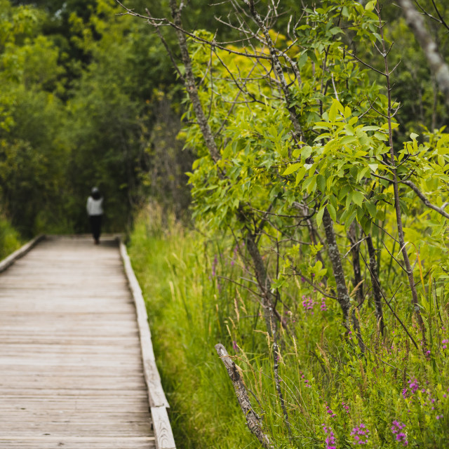 """""""boardwalk through a wetland with a woman in the distance"""" stock image"""