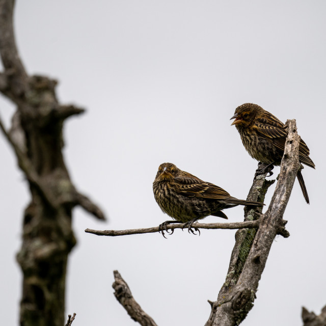 """""""pair of finches on a branch with white sky background"""" stock image"""