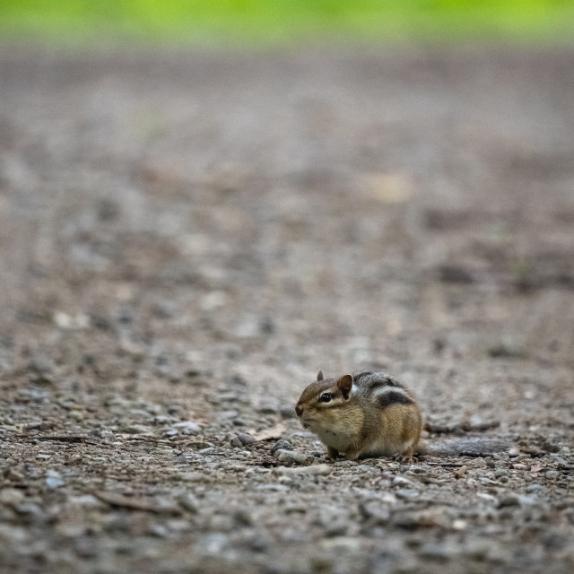 """""""chipmunk exploring a park trail cautiously"""" stock image"""