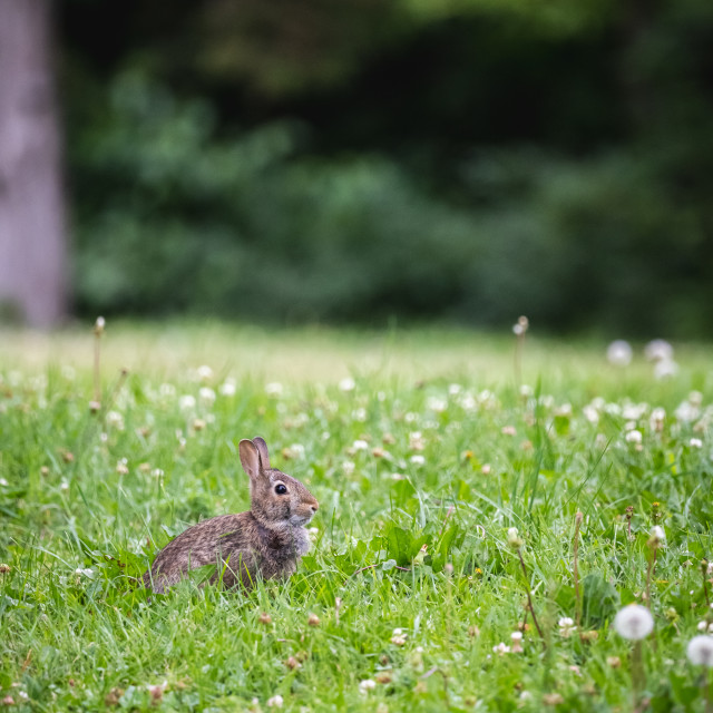 """""""baby rabbit sitting in clover and dandelions in a minnesota park"""" stock image"""