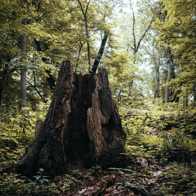 """""""warmly lit, hollowed out stump in the forest"""" stock image"""