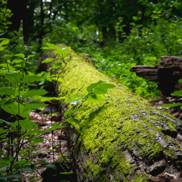 """""""bright green moss growing on a fallen tree in the forest"""" stock image"""