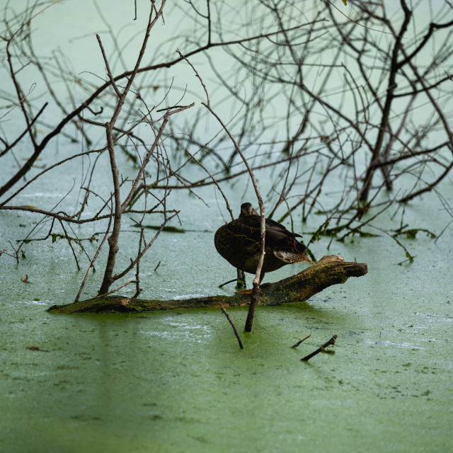 """""""duck on a log floating in an algae filled pond"""" stock image"""