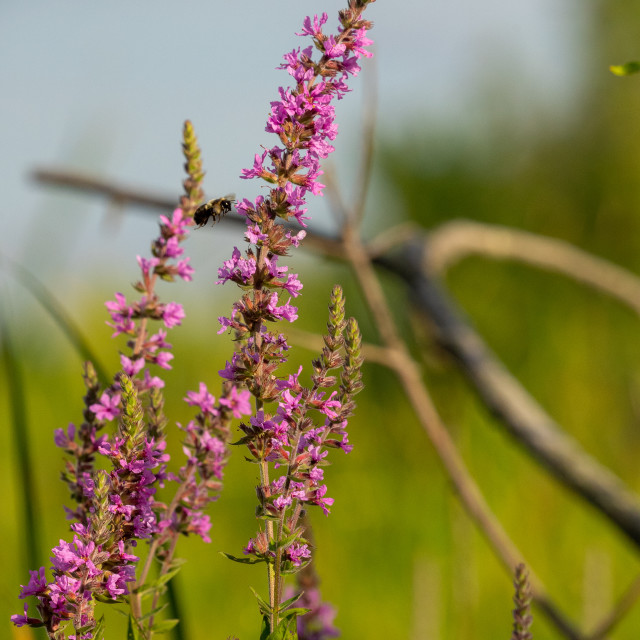 """""""bee flying in to land on a prairie wild flower"""" stock image"""