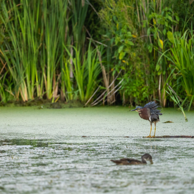 """""""green heron shaking the water off its feathers before flight"""" stock image"""