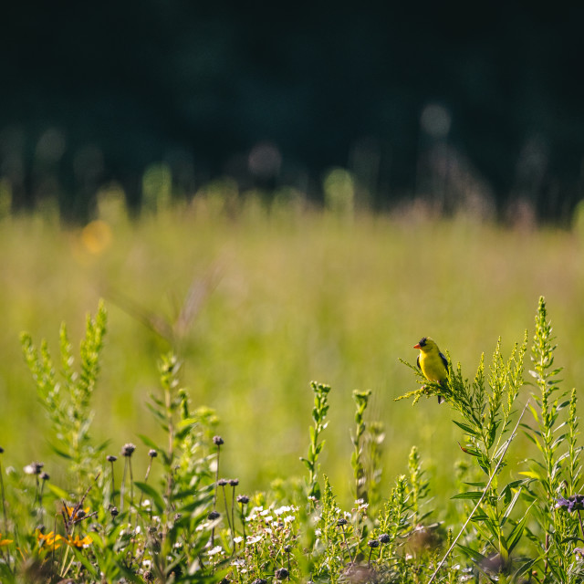 """""""goldfinch on grass in an open prairie"""" stock image"""