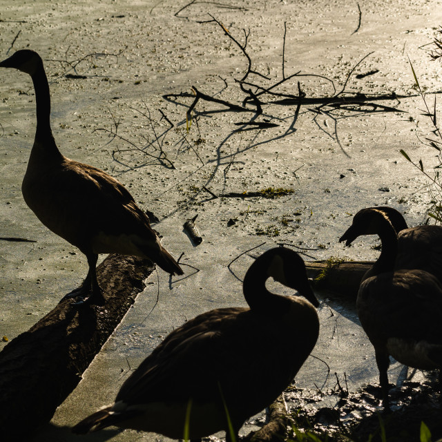 """""""silhouette of geese on the bank of a minnesotan lake"""" stock image"""
