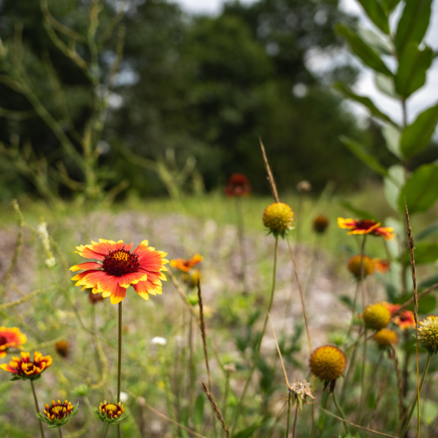 """""""bright wild flowers in a minnesotan meadow"""" stock image"""